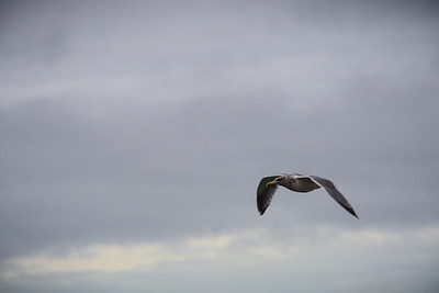 9 Jan: Gull at Ebey's Landing, Whidbey Island