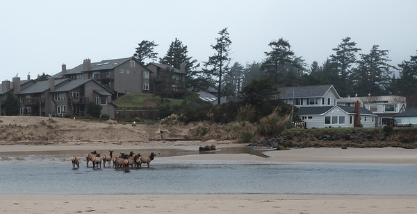 8 Feb: Elk on the beach at Cannon Beach, Oregon! We could watch them from our room.