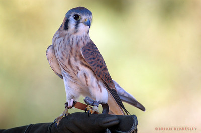 American Kestrel  Taken 2009.11.21, Gilbert, AZ, USA