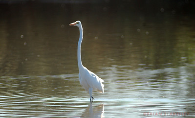 Great Egret  Fishing at the Gilbert Riparian Preserve  Taken 2009.11.21, Gilbert, AZ, USA
