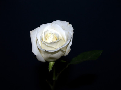 Andrea cazzell - White Rose