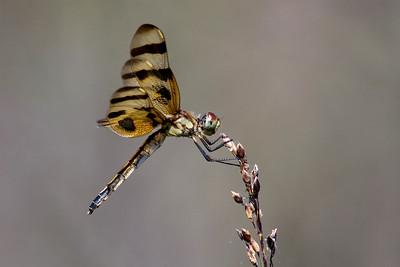 Halloween Pennant Dragonfly - Celithemis eponina