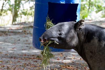 Miami Zoo - Malayan Tapir
