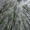 Poplar spring (Wedgewood Ravine, Edmonton, Alberta, Canada)