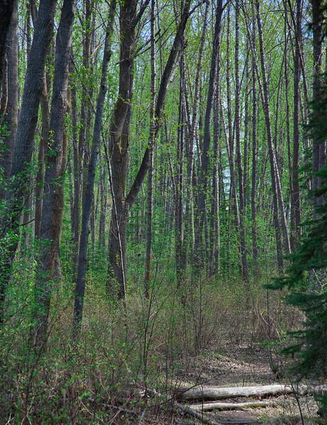 Wedgewood Ravine Spring (Wedgewood Ravine, Edmonton, Alberta, Canada)