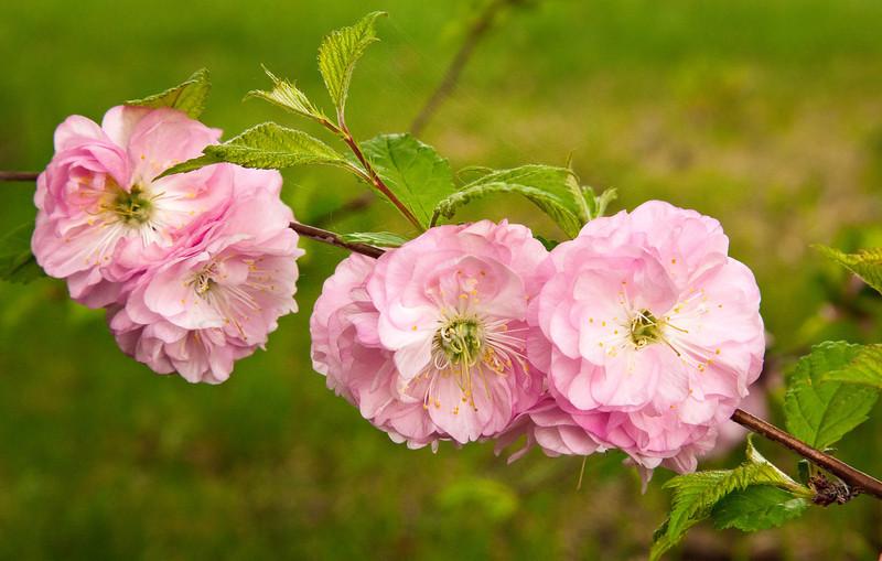 Flowering plum (Edmonton, Alberta, Canada)