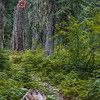 Trail through the cedar forest (Fernie, British Columbia, Canada 2012)
