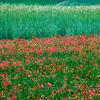 Crops (Piano Grande di Castelluccio, Italy 2012)