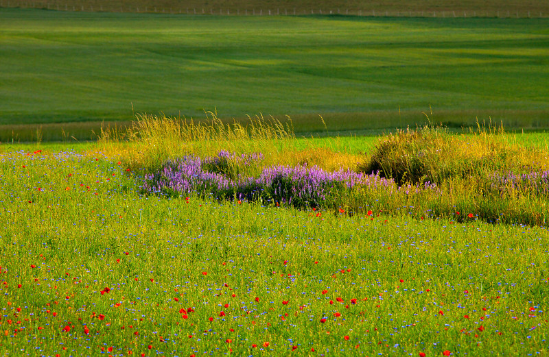 Green concerto for grasses in purple with red accents (Piano Grande di Castelluccio, Italy 2012)