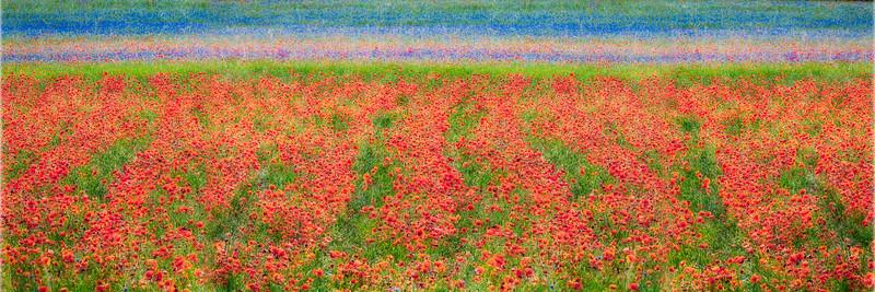 Explosion of colours (Piano Grande di Castelluccio, Italy 2012)