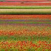 Flowery field (Piano Grande di Castelluccio, Umbria, Italy 2012)