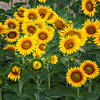 Sunflowers (Marche, Italy 2012)