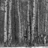 Poplar forest (Canadian Rockies, Alberta, Canada 2013)