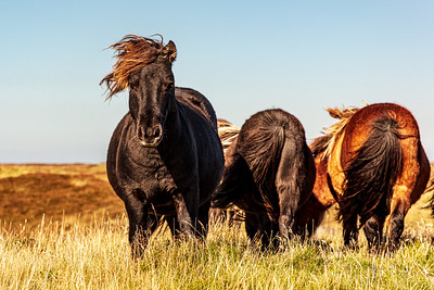 Wild Ponies, Loch Druidibeg, South Uist
