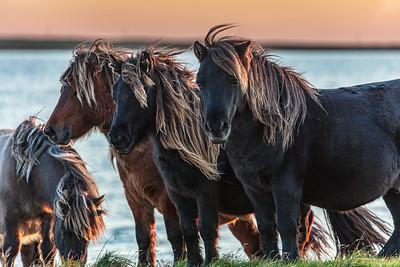 Wild ponies, South Uist