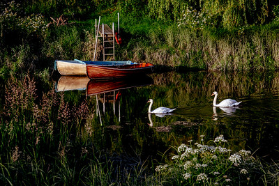 Swans along the River Ouse