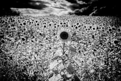 Sunflowers, East Chiltington