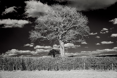 Barcombe Tree