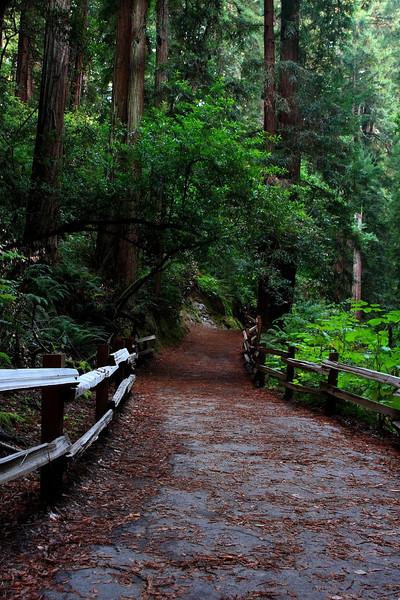 Muir Redwoods 1