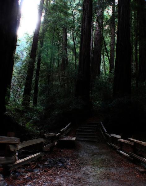 Muir Redwoods 4