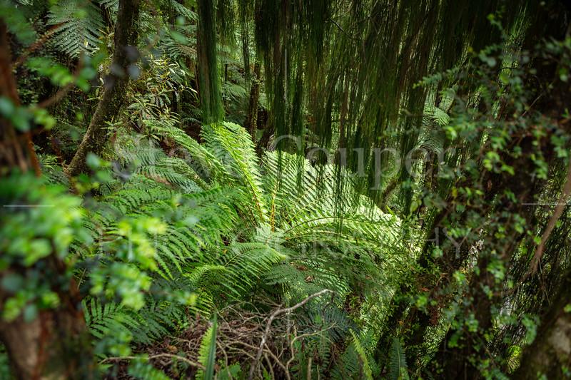 New Zealand Ponga Fern