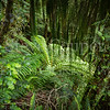 New Zealand Ponga Fern