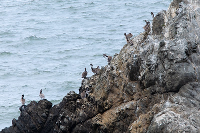 Pelicans at Seal rocks