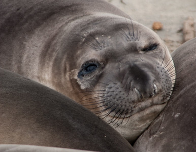 Elephans seal pups