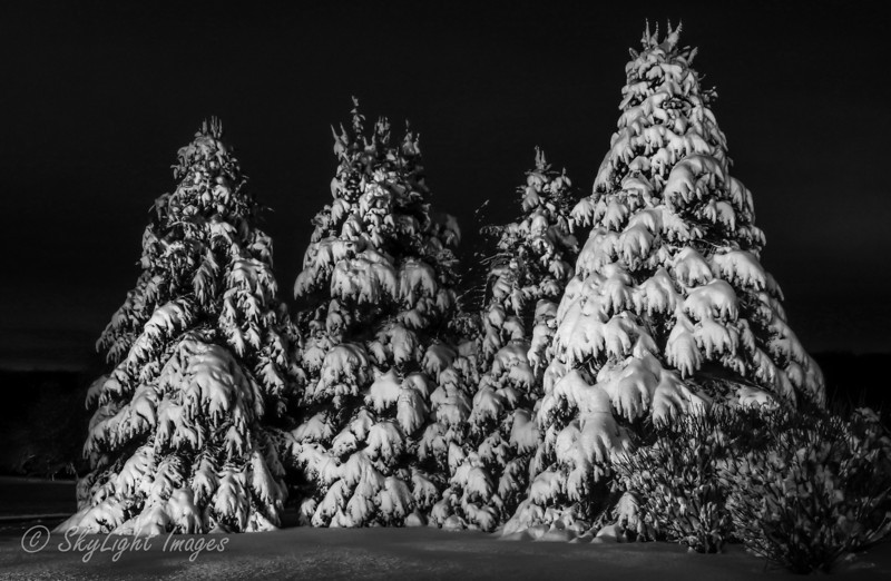Snow covered Pines 2