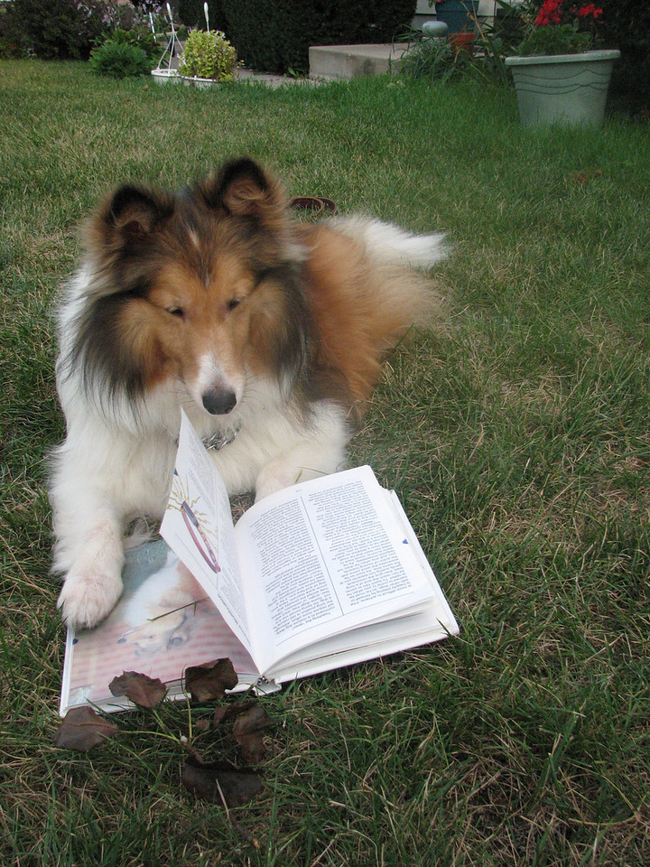 I photographed my dog, Teddie, who is relaxing outside with a book All About Shetland Sheepdogs on a recent warm September afternoon. He is happiest when he's outside and he's waiting for someone to read to him.<br /> <br />  <br /> <br /> Photo was taken with a Canon PowerShot S3 on Auto<br /> <br /> <br /> <br /> <br /> Donna Bieschke<br />   Crystal Lake, IL