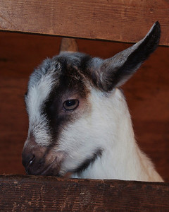 """One Cute Kid""  Baby goat, taken at Pioneer Farm in Hampshire, IL Pentax K-x, shutter speed 1/30, f 7.1, ISO 400, focal length 40mm  Margie Bjorkman McHenry,IL"