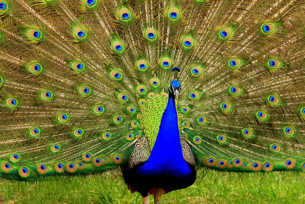 """The Peacock""  Milwaukee Zoo - March 2012  Cynthia Lawler McHenry, IL"