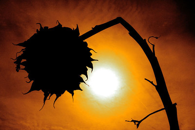 "**  3rd Place  **  ""Oblivion Entity""   Shot on the Wilkerson farm in Huntley, during the super warm March weather. Seeing this dead sunflower silhoutted by the warm sun was just a shot i couldn't miss :) The colors were enhanced to give it more of an orange tint.  Nicole Wailly Lake in the Hills, IL"
