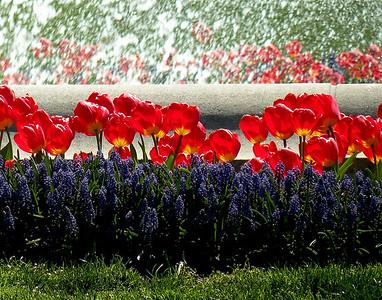 """White House Tulips""  Taken in front of the fountain at the White House-Washington DC- Nikon COOLPIX P80  Susan Heiress - Woodstock, IL"