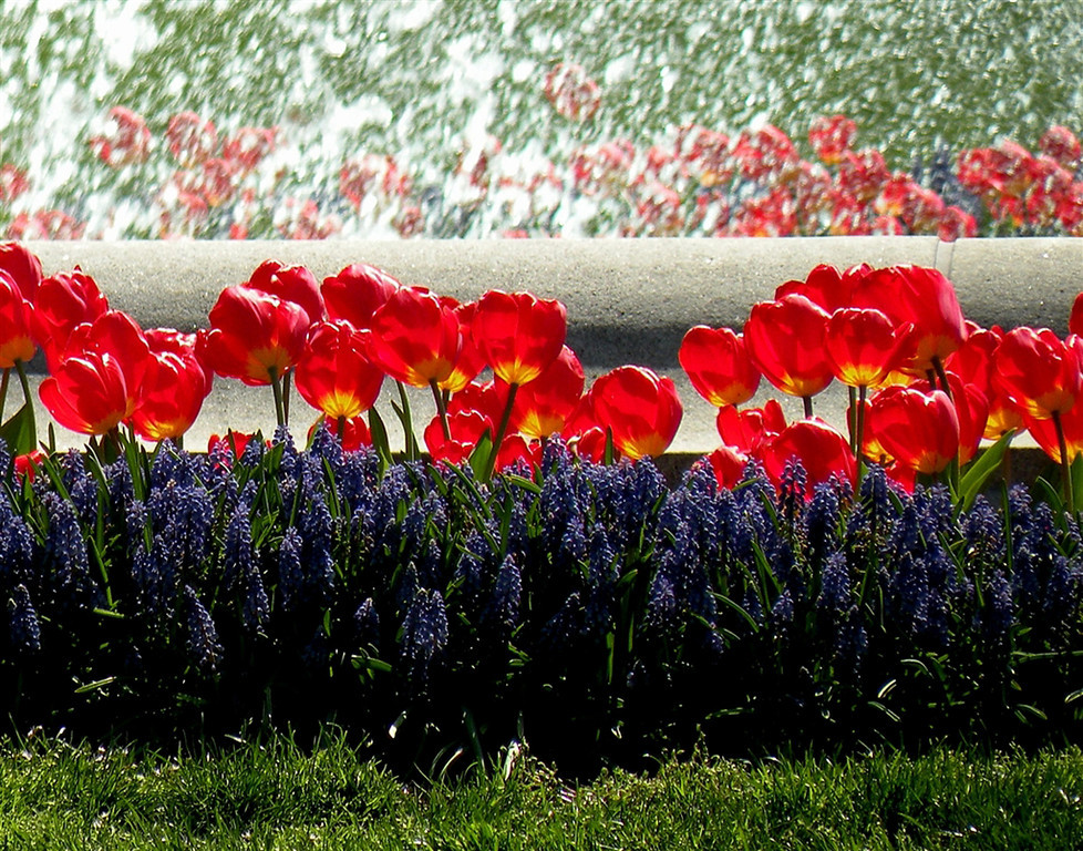 """White House Tulips""<br /> <br /> Taken in front of the fountain at the White House-Washington DC- Nikon COOLPIX P80<br /> <br /> Susan Heiress - Woodstock, IL"
