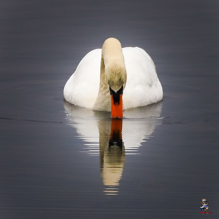 Swan in the Mirror  PRUS