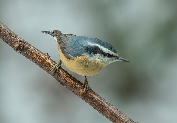 2021 Red Breasted Nuthatch DSC_0250_adj_FINAL_PHOTOGSRUS