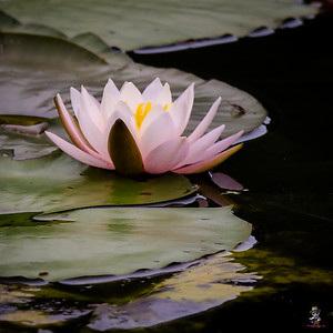 Water Lily 013121