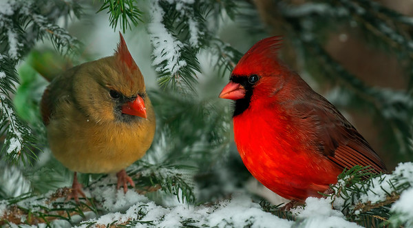 Male and Female Cardinals in Snow 12-20 wsc