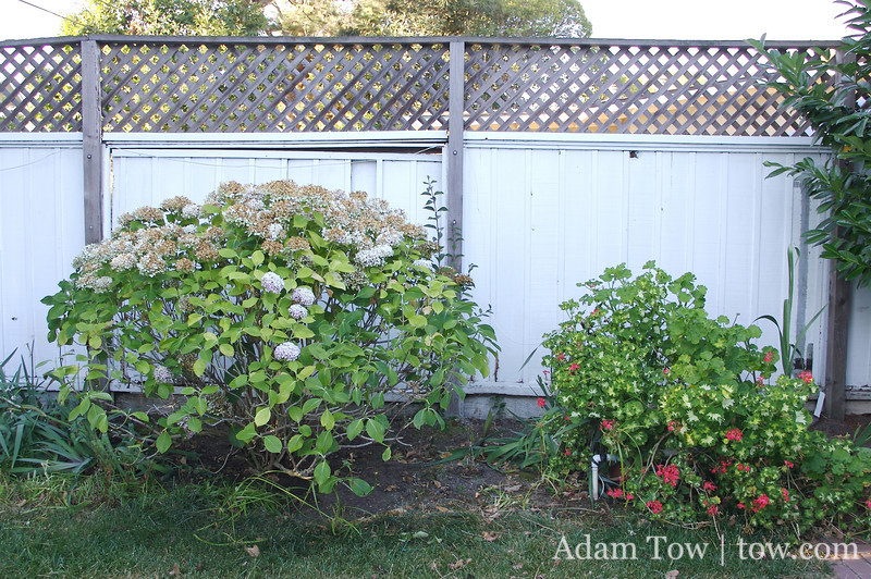 Our nice bushes in front of the old fence.