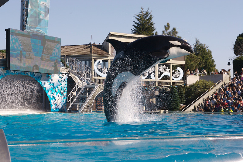 Shamu jumps up and dives back into the water during its show at Sea World.