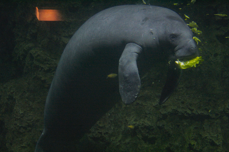 Manatees love to eat lettuce.