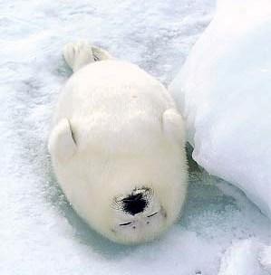 """Cute Harp Seal - <a href=""""http://www.nilhan.com/?p=58"""">http://www.nilhan.com/?p=58</a>"""