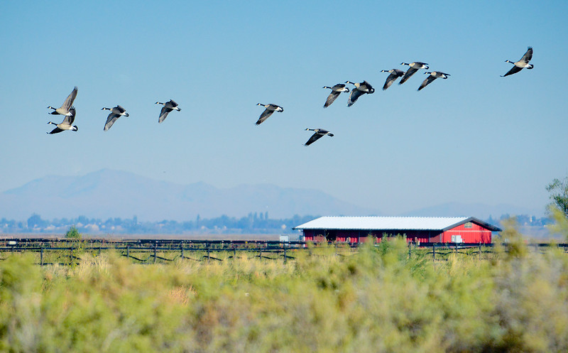 Davis wetlands is endangered by a proposed highway. This area is especially important to the northern utah bird population.  In Farmington on October 5 2013. (Brian Wolfer Special to the Standard-Examiner)
