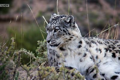 Pensive snow leopard at the NABU Rehabilitation Center in Ananyevo.