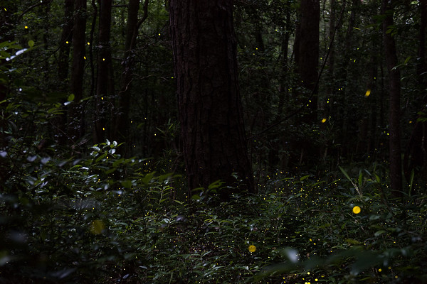 The annual synchronizing fireflies (Photuris frontalis) at Congaree National Park.
