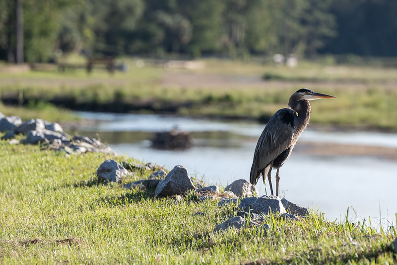 A Great Blue Heron sits on the bank of Lake Katherine on Oct. 2, 2020. John A. Carlos II / Special to The Post and Courier