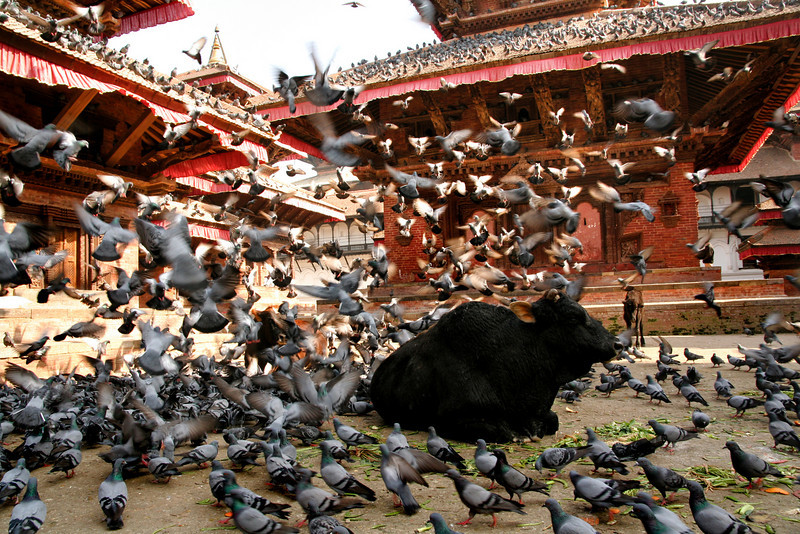 Kathmandu, Nepal, a place where famously Buddha meets Shiva, but also a place where street bulls meet pigeon flocks. The streets of inner Kathmandu are a colidascope of rotating and overlapping visual feasts.  A dreaded Sadhu backed by a pack-elephant hauling bamboo, to a line of red-robed Buddhist monks hurrying across a traffic-jammed highway, to this street-bull napping among a thousand-thousands pigeons.  And all of this just on your three-block walk to buy a pack of double-A batteries.