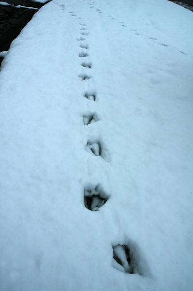 For the Enterprise/John Kossik<br /> Goose tracks in the snow in Mill Creek