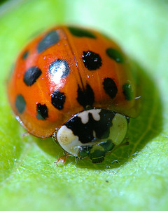 Ladybug on a leaf at a magnification of 1.7X